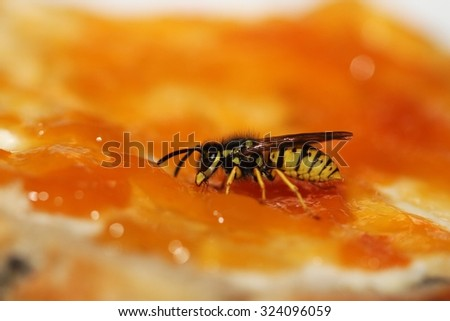Wasp on bread with butter and apricot jam. - stock photo