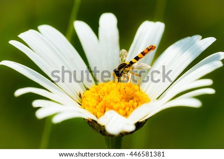 Wasp on flower / Hornet on flower / Field flowers macro close-up - stock photo