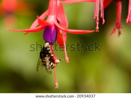 Wasp on Fuchsia - stock photo