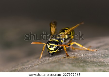 Wasp on leaf - stock photo
