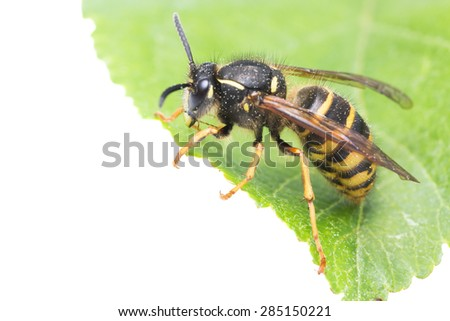 Wasp on leaf, white background with copyspace  - stock photo