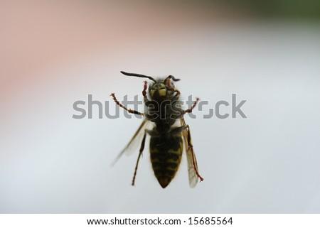 wasp on window - stock photo
