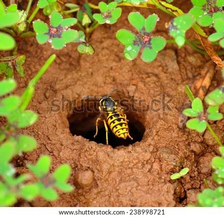 Wasp over the entrance hole of its underground nest - stock photo