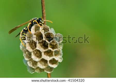 Wasp ovipositing - stock photo