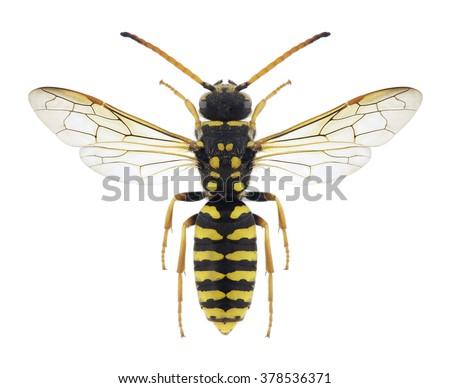 Wasp Polochrum repandum on a white background - stock photo