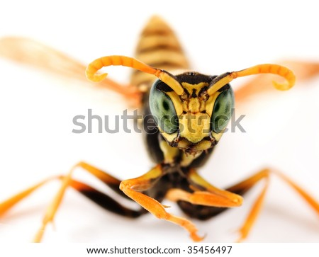 Wasp Portrait - stock photo