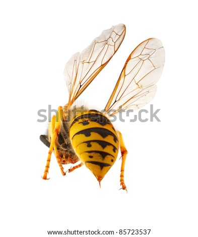 wasp presenting it's abdomen with threatening stinger, macro with stacked focus, isolated concept for threat and danger - stock photo