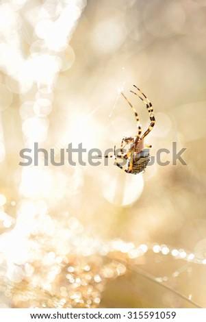 wasp spider - stock photo