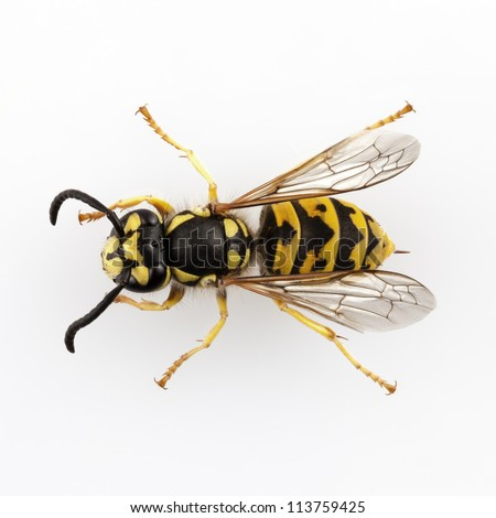 wasp Vespula germanica species isolated on white background - stock photo