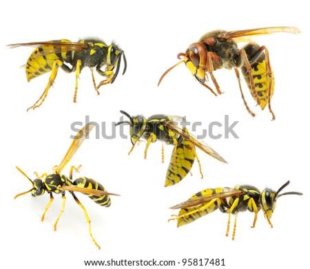 wasps isolated on white background - stock photo