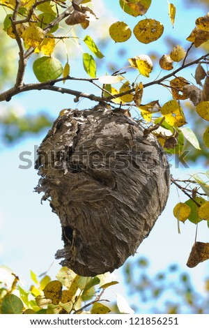 Wasps nest hanging in a tree - stock photo
