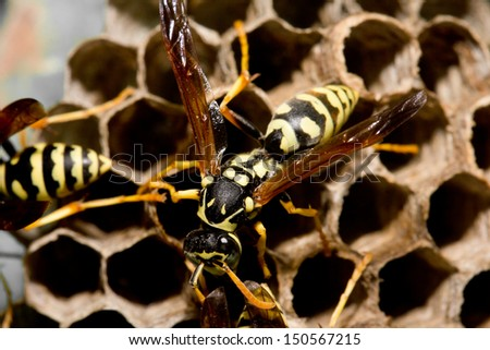 wasps on comb. macro