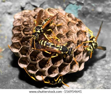 wasps on comb. macro - stock photo