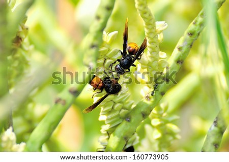 Wasps or Vespa affinis are aggressive insects. Selective focus, soft focus and shallow depth of fields - DOF - stock photo