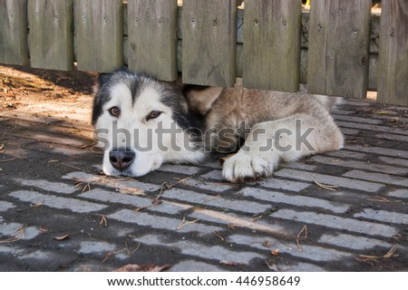 Watchdog behind wooden fence guarding home yard.