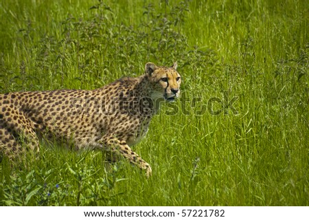 Watchful cheetah moving through long grass to stalk its prey - stock photo