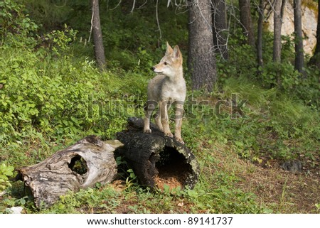 Watchful coyote pup - stock photo