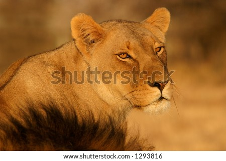 Watchful lioness (Panthera leo), South Africa - stock photo