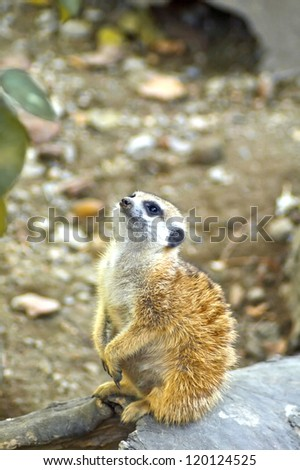 Watchful young meerkat standing guard - stock photo
