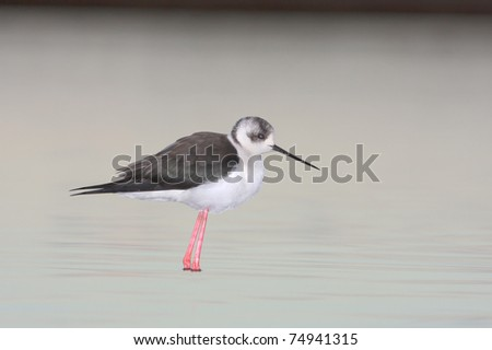 water bird - black winged stilt (Himantopus himantopus) - stock photo
