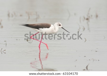 water bird - black winged stilt (Himantopus himantopus) looking for food - stock photo