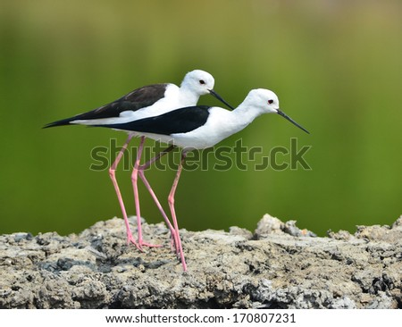 Water bird .The Black-winged Stilt or Common Stilt  - stock photo