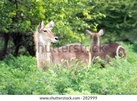 Water-buck in the African bush - stock photo