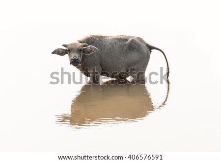 Water buffalo are bathing