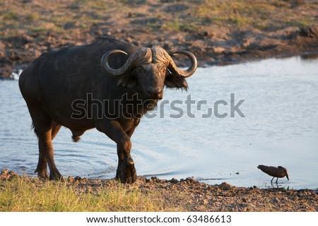 Water Buffalo finishes drinking in Chobe National Park, Botswana - stock photo