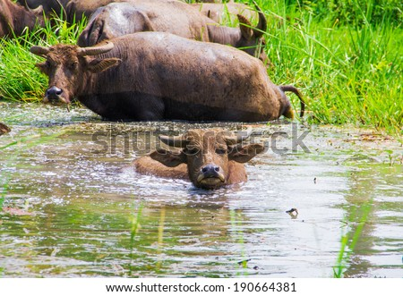water buffalo in pond of thailand