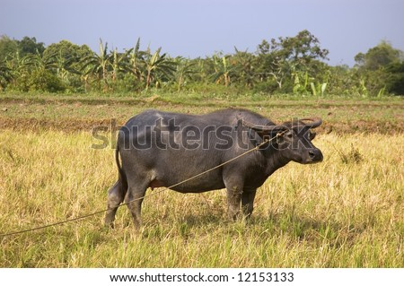 Water buffalo in ricefield under the hot, summer sun