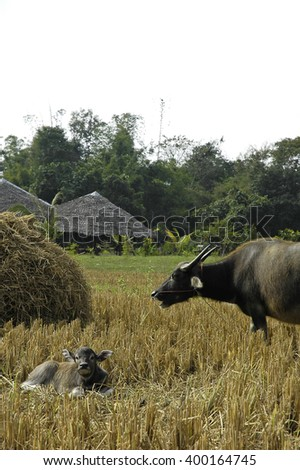 water buffalo in the paddy field - stock photo