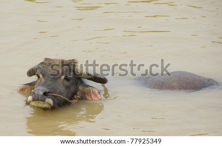 Water buffalo refreshing himself in a river - stock photo