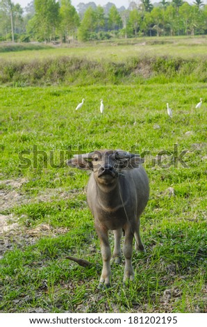 Water buffalo standing on green grass in Thailand field