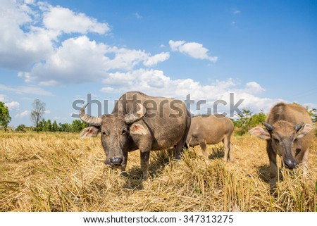Water buffalo standing on rice field after harvest under beautiful sky