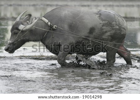 Water buffalo works in rice field