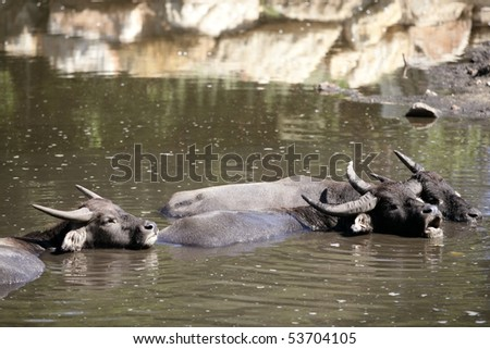 Water buffaloes sinking on brown  lake - stock photo