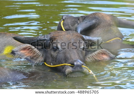 Water buffaloes taking a bath