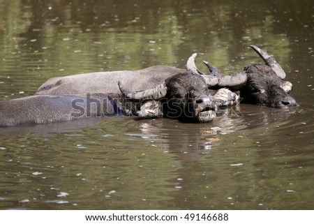 Water buffalos sinking on brown  lake