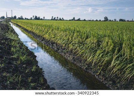 Water Canel with Paddy field landscape at Sekinchan, Malaysia.