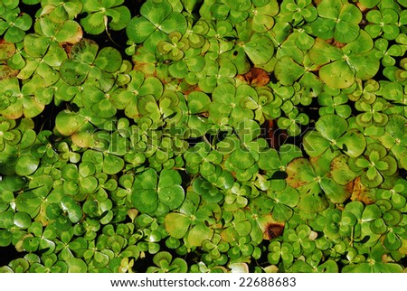 water clover - stock photo