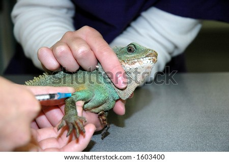water dragon getting intramuscular injection - stock photo
