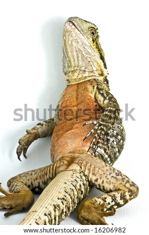 Water dragon sitting on back reclining in isolated white background - stock photo
