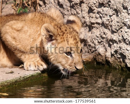Water drinking young lion - stock photo