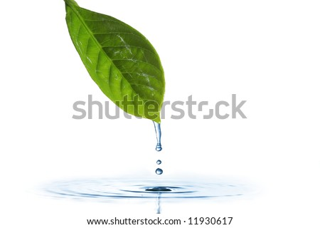 Water dripping of a leaf - stock photo