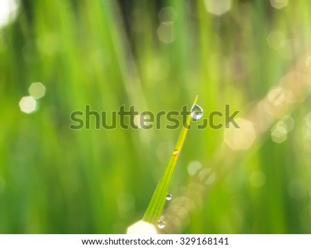 water drop at rice field in the morning time