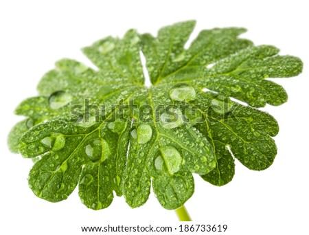 water drop on a green leaf in macro lens 1:1 shoot isolated on white background - stock photo