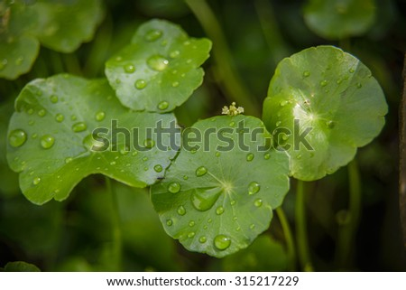 Water drop on centella asiatica - stock photo