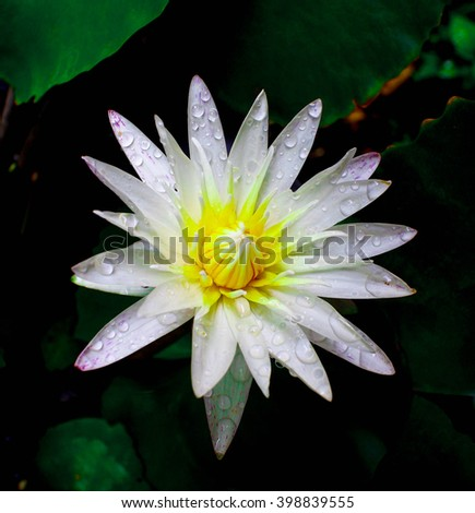 Water drop on colorful purple water lily in thailand - stock photo