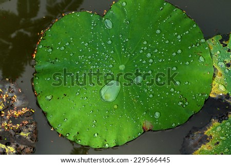 Water drop on lotus leaf in the pond - stock photo